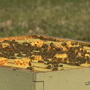 Extended winter weather impacted bees, honey production