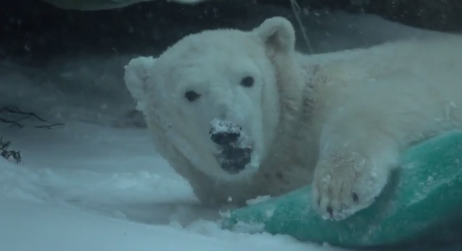 Oregon Zoo animals in the snow (Still image from video courtesy Oregon Zoo)