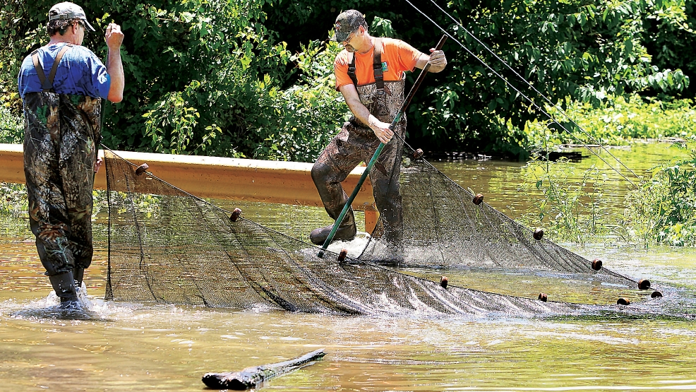 Two employees of the Illinois Department of Natural Resources used a net to drag just a few feet of floodwater at the intersection of Cedar and East Water streets in Grafton, Ill., Thursday, July 10, 2014, catching nearly 30, inch and a half long fish. The catch is part of an ongoing fish reproduction study. Several different species were caught in the brief drag and the good news is that none of the small fish were the invasive Asian carp. (AP Photo/The Telegraph, John Badman)