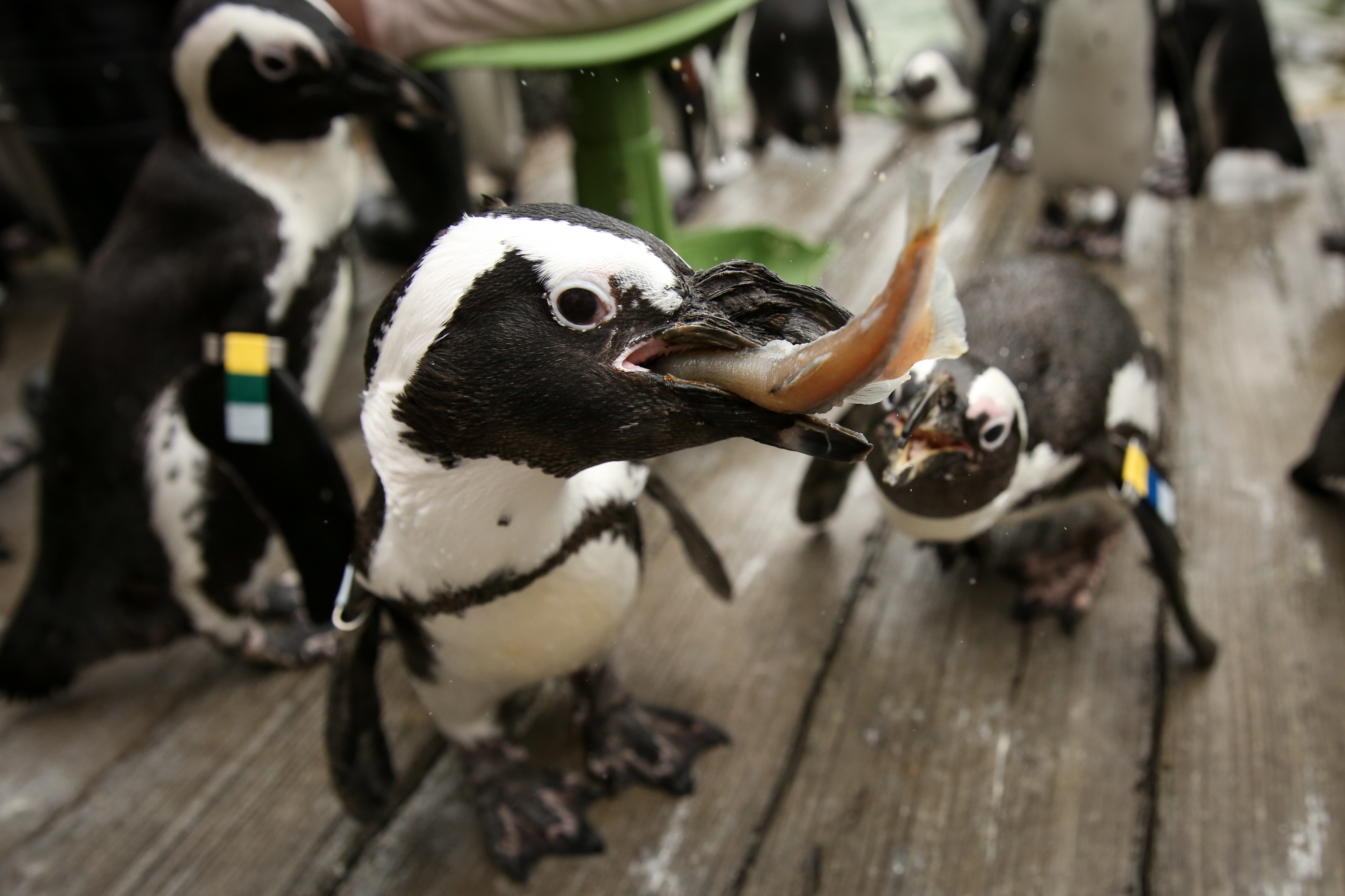 August, 2017. An African Penguin tries to steal a sardine from another penguin at the Baltimore Zoo.{&amp;nbsp;} (Amanda Andrade-Rhoades/DC Refined)<p></p>