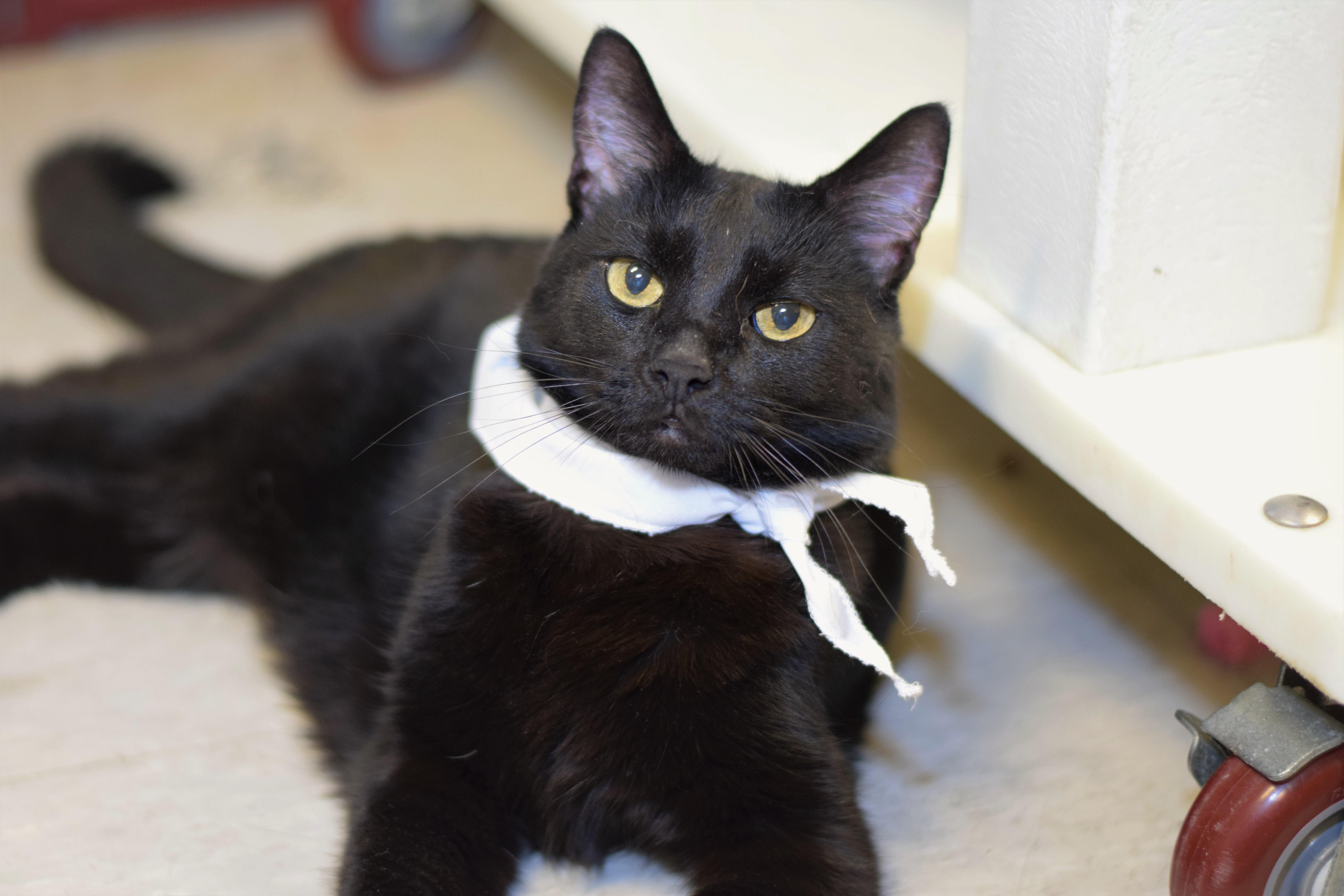 Kit Kat has been sponsored by a generous donor, so her adoption fee has been waived. At six-years-old, Kit Kat is mature and knows her manners, and she's just waiting to impress a potential adopter.{ } (Image: Humane Rescue Alliance)