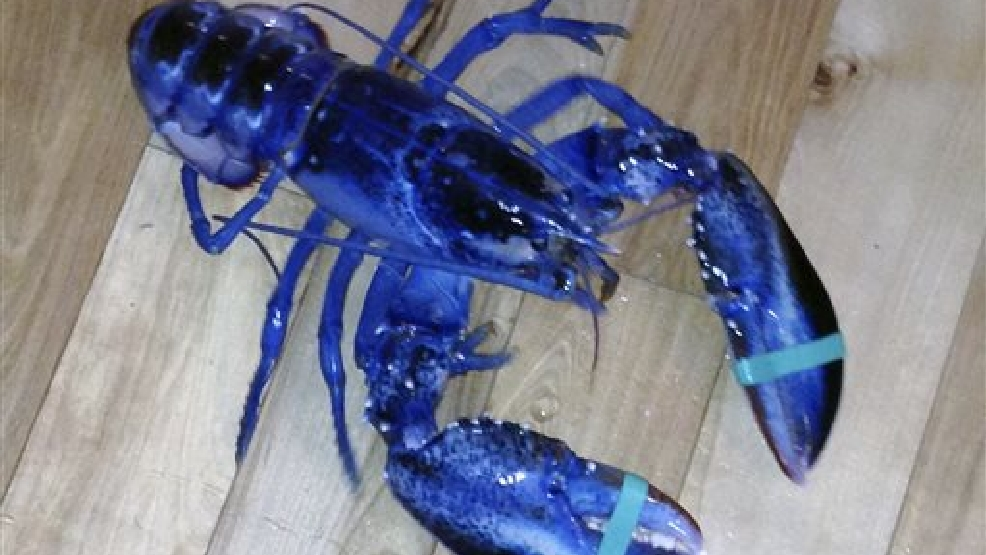 This Aug. 23, 2014, photo provided by Meghan LaPlante shows a blue lobster caught by her father Jay LaPlante off Pine Point in Scarborough, Maine Saturday. The crustacean is being donated to the Maine State Aquarium. (AP Photo/Meghan LaPlante)