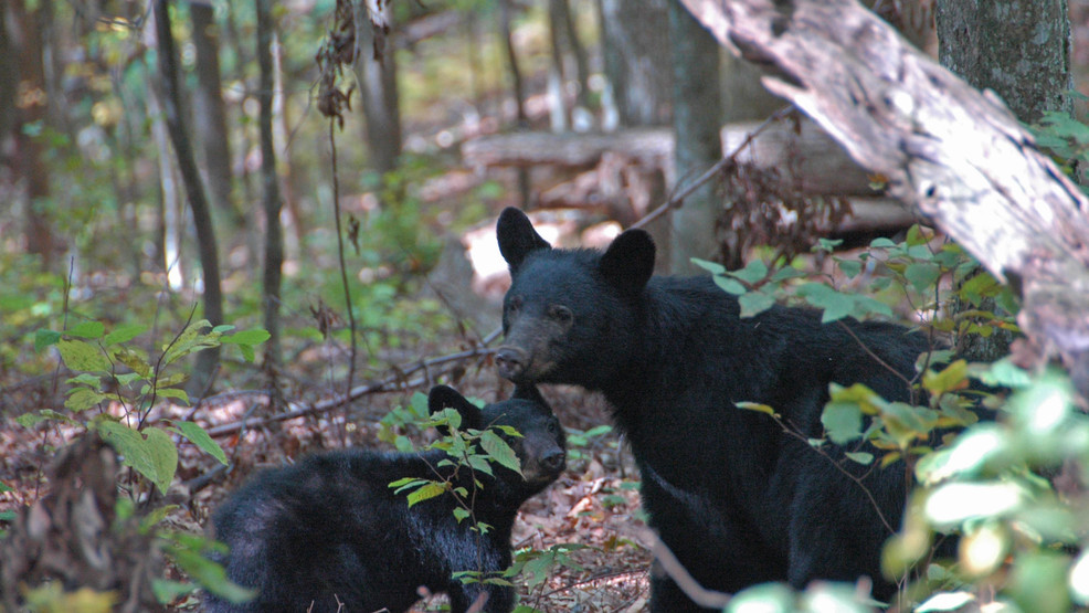 NPS Photo_Black Bear with cub.JPG