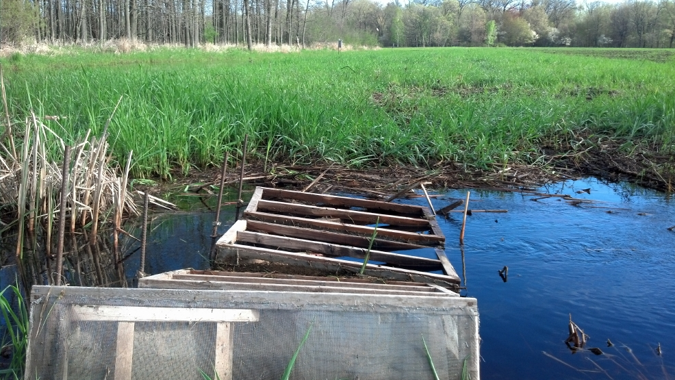 Wooden fish traps capture northern pike fry on their journey to the waters of Green Bay