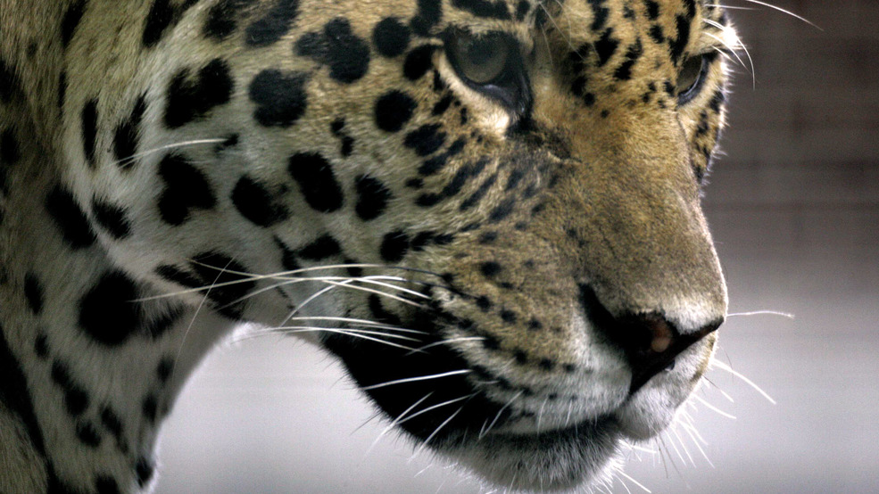 Eighth Animal Dies After Jaguar Escapes Habitat In New Orleans Zoo