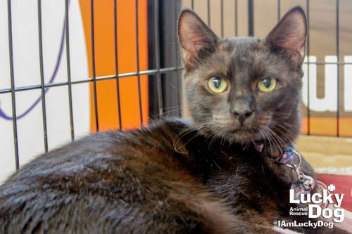 Adam is a handsome young 8-month-old kitten with a sumptuous coat, round doll-face and an amazing personality! If interested in adopting Adam, contact Lucky Dog Animal Rescue (Lucky Dog Animal Rescue)<p></p>