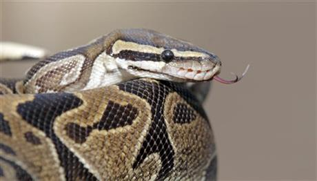 A python is is prepared for transport Wednesday Jan. 29, 2014, in Santa Ana, Calif., at the home of William Buchman