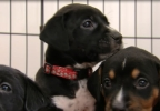 New litter of dogs named after fallen officers (ABC7).PNG