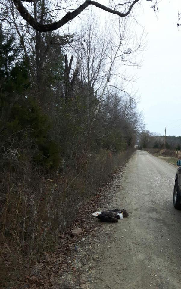 A bald eagle was discovered shot and killed Dec. 27 west of Broken Bow in McCurtain County. (Oklahoma Game Wardens)