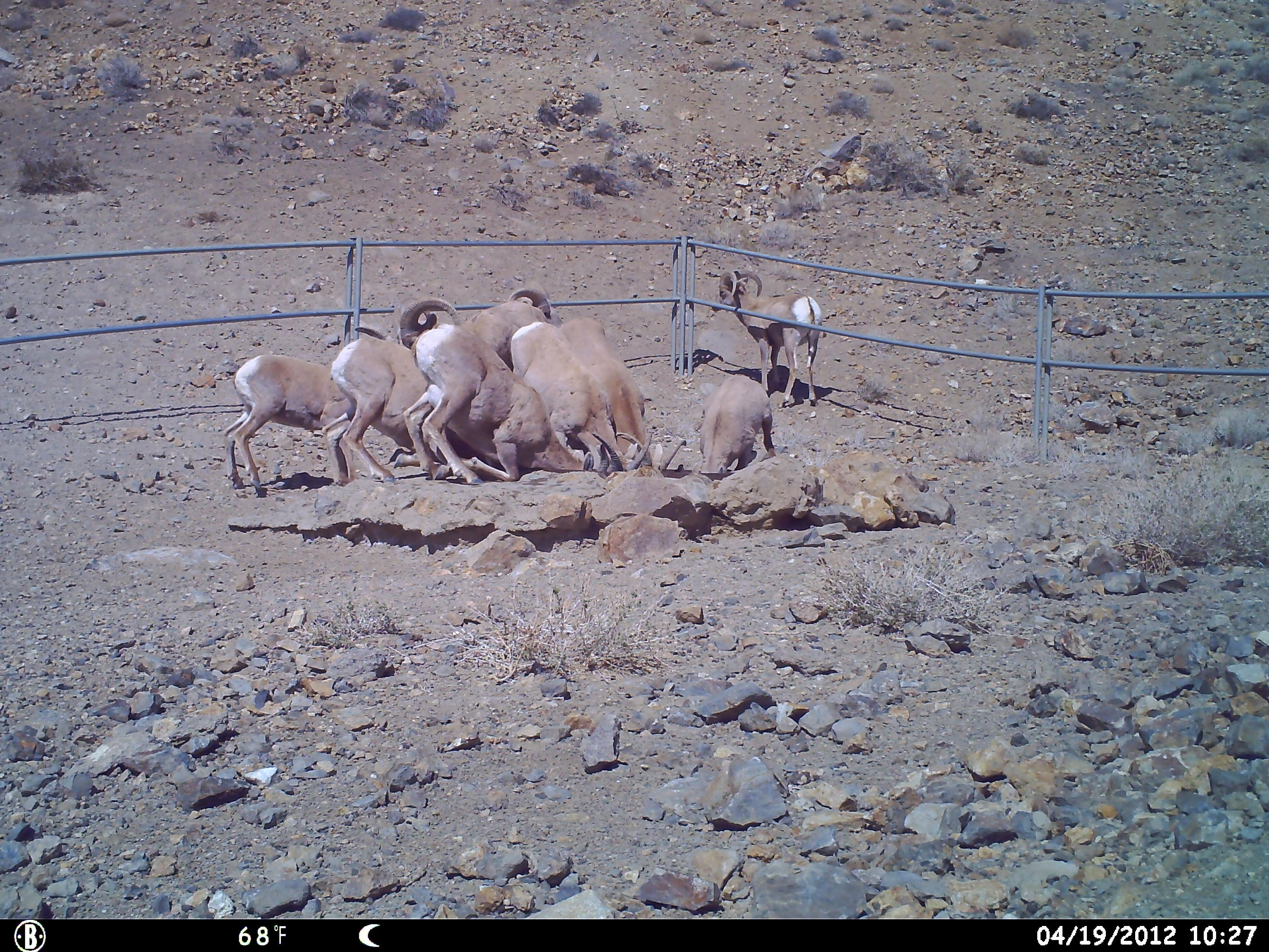 A trail camera catches several bighorn sheep on April 19, 2012 (Photo courtesy NDOW)