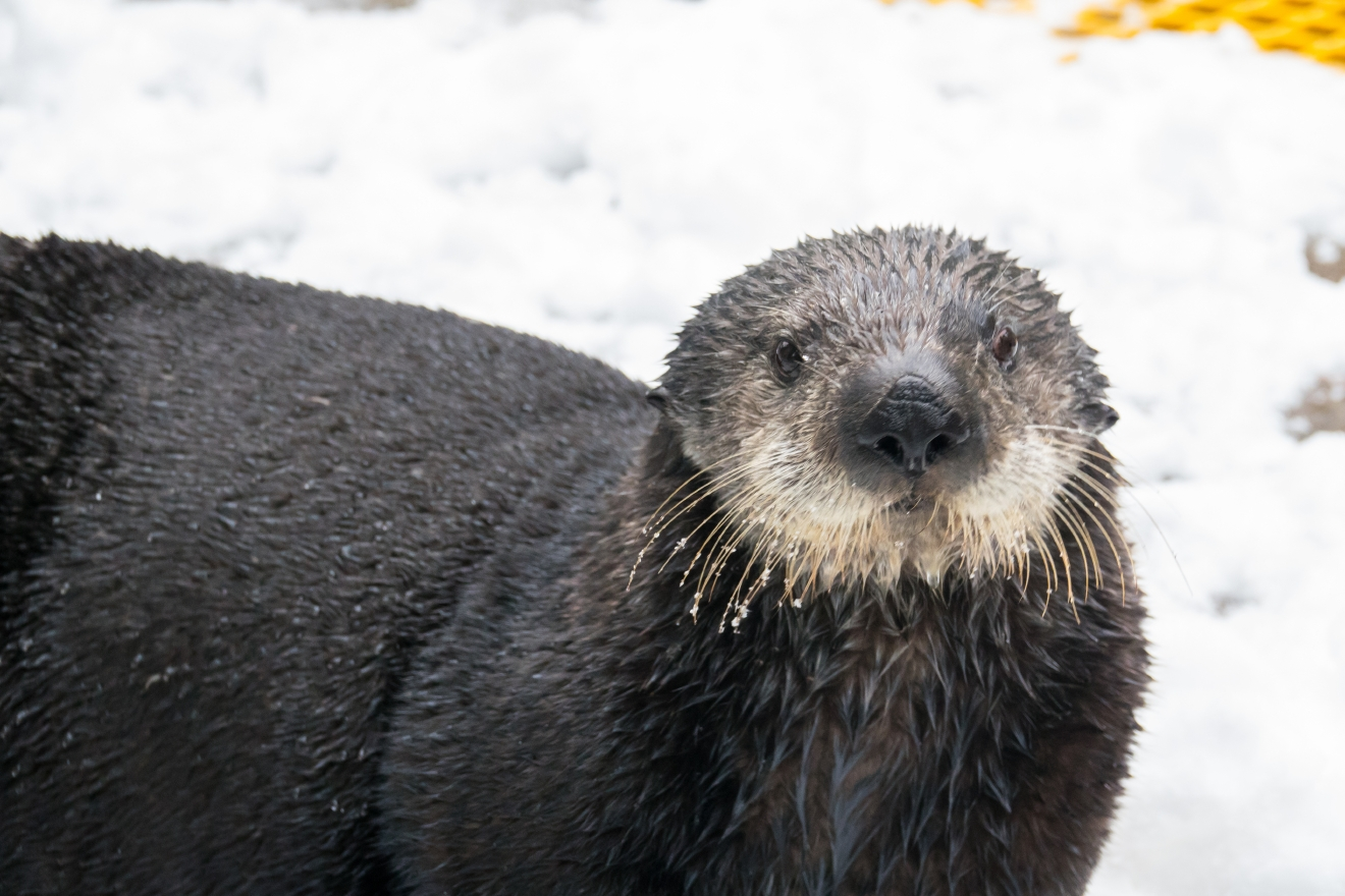 Sea otter Juno on a wintery day at the Oregon Zoo. © Oregon Zoo / photo by Michael Durham.