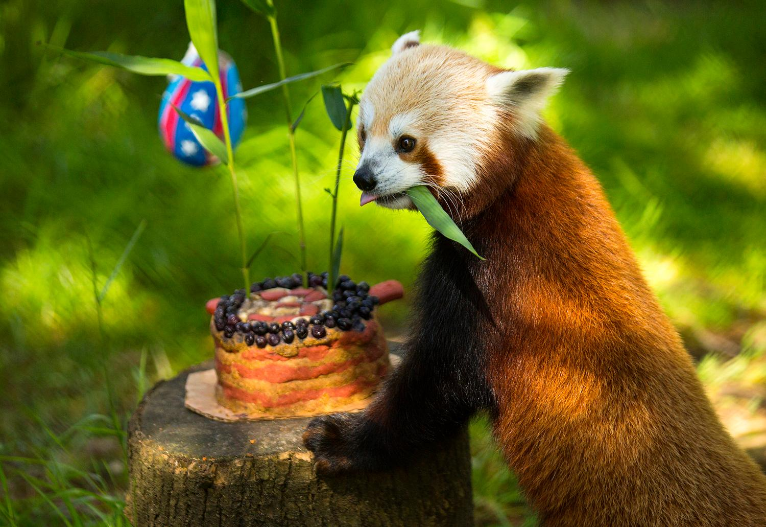 Carson, the Woodland Park Zoo's red panda, celebrates his third birthday and the fourth of July with an American flag themed cake and a rocket stuffed with treats Friday, June 30, 2017. (Sy Bean / Seattle Refined)