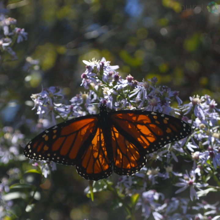 Monarch migration on the Blue Ridge Parkway. Photo: Anonymous<p></p>