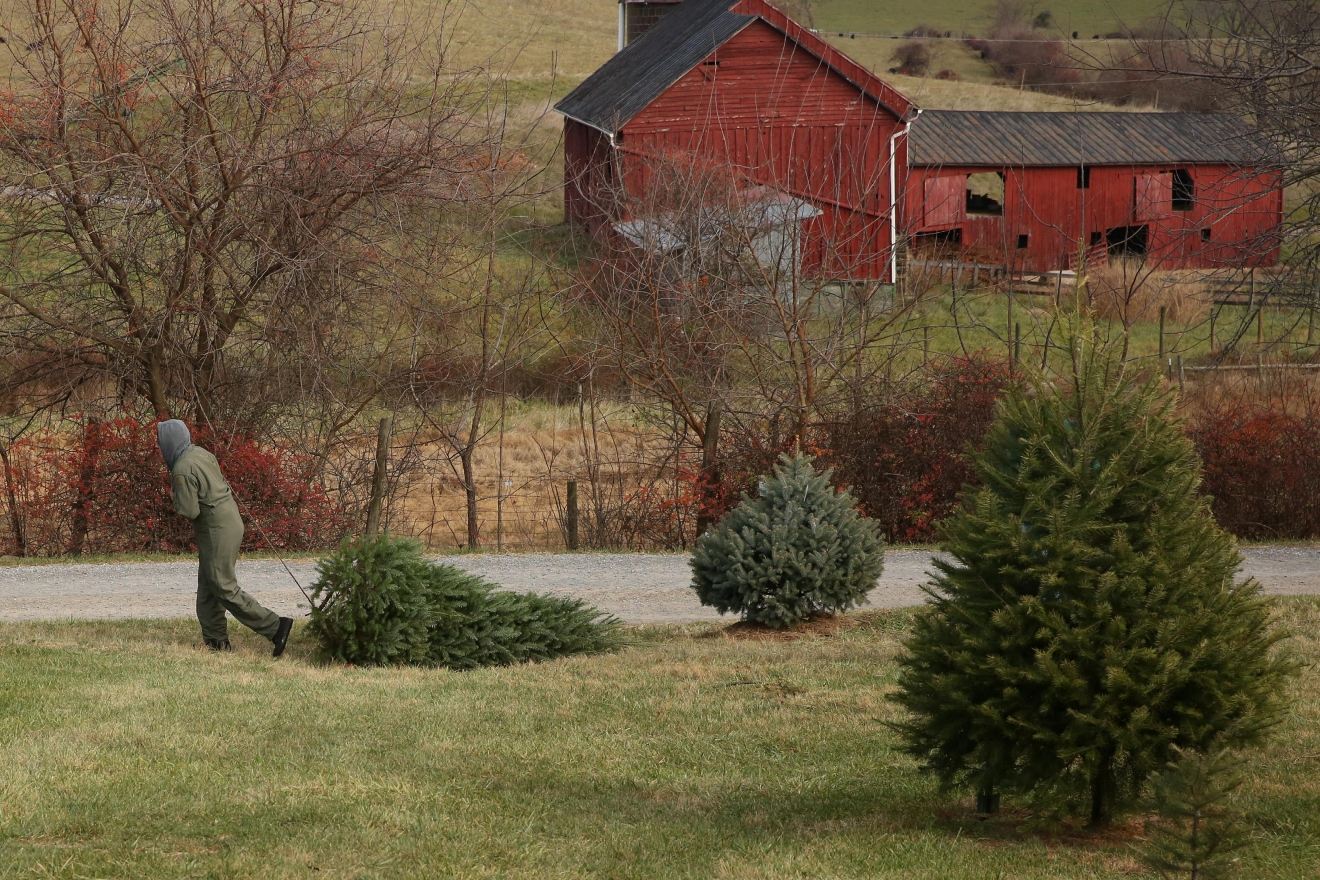 The farm says that if you are coming to get a large (10' or taller) tree, you will need 3 or 4 strong men to pull it in from the fields. It is not an easy task.(Amanda Andrade-Rhoades/DC Refined)