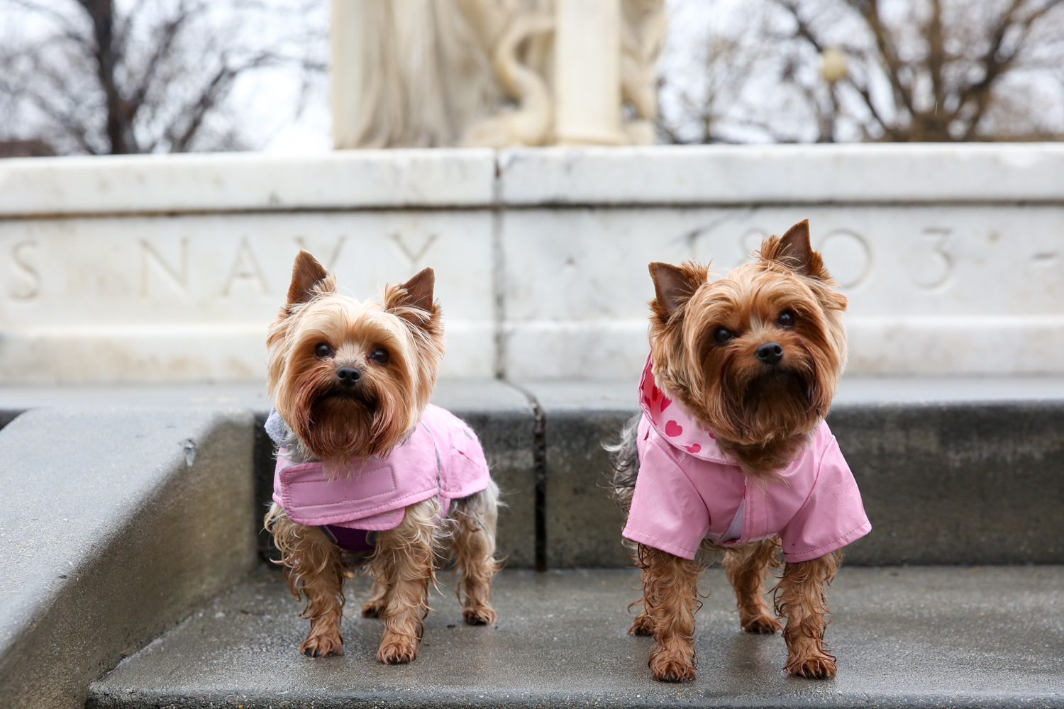 "Meet Sophia and Izzy Bear, 5-year-old and 3-year-old Yorkshire Terrier sisters.  Sophia and Izzy's mom has grown up around Yorkies since she was 11, and she found both of her beautiful girls when she lived in Florida. They have adjusted well to city life, and really love being able to walk into so many of the stores and shops around D.C. -- the extra attention makes them showoff! Mom likes to jokingly refer to the girls as her ""therapist, Prozac, adventure seeing buddies and best friends all wrapped into one!"" After creating an Instagram account for Sophia and Izzy Bear (@yorkieheaven), mom realized there was a huge need for products uniquely suited to meet the needs of small dogs, and thus @smalldogofficial was born, with Sophia and Izzy Bear taking over as co-CEOs. Currently they market a comb to remove ""eye gunk"" on little dogs. If you or someone you know has a pet you'd like featured, email us at dcrefined@gmail.com or tag #DCRUFFined and your furbaby could be the next spotlighted! (Image: Amanda Andrade-Rhoades/ DC Refined)"