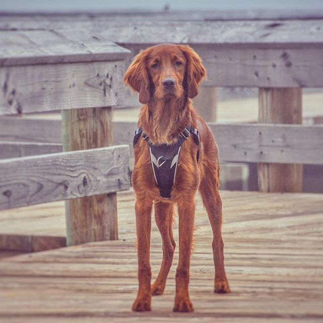 "2. Sawyer in Seattle (35,400 followers): This combo of deep red fur and light brown eyes has us swooning - such a pretty Irish Setter! Sawyer just turned one a few days ago - happy birthday buddy. Here's to many more cups of <a href=""https://www.instagram.com/p/BZjKfMdFN6n/?taken-by=sawyer.in.seattle"" target=""_blank"">Starpugs</a>. (Image: @sawyer.in.seattle / instagram.com/sawyer.in.seattle)"