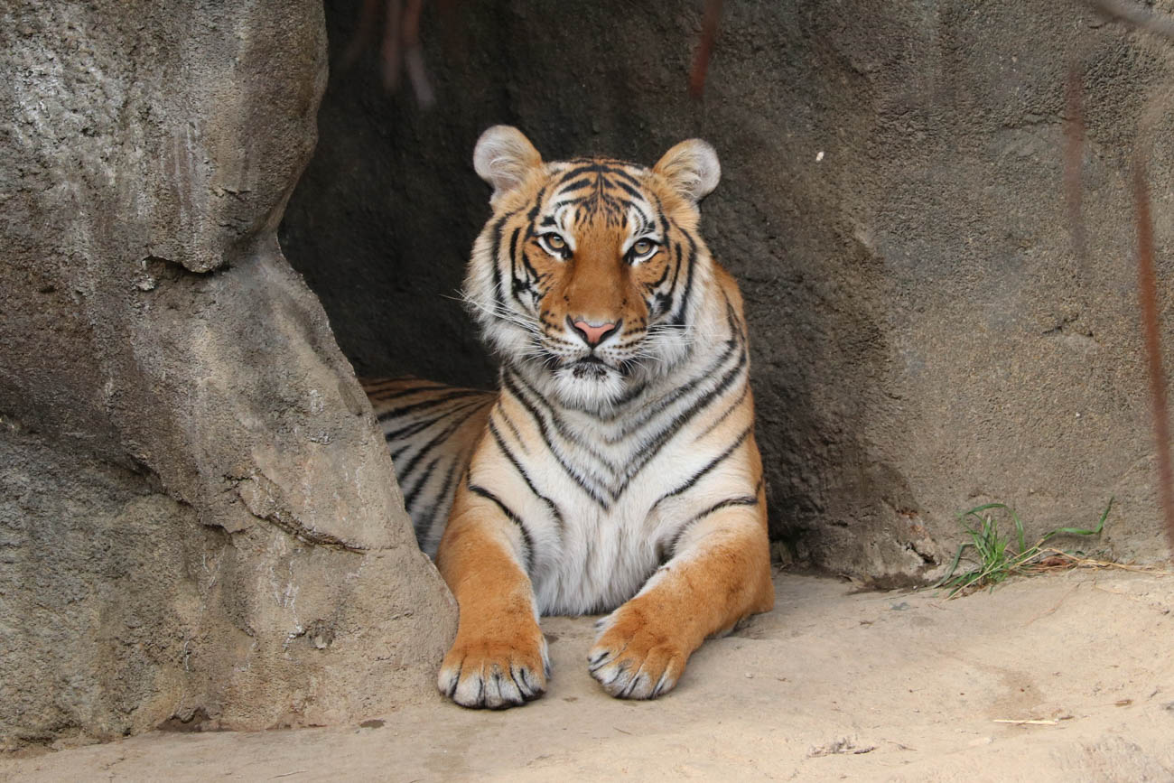 Izzy, a two-year-old Malayan Tiger{ }at the Cincinnati Zoo & Botanical Garden / Image: Larry Thomas // Published: 1.16.19