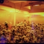 Police seize over 3,000 pot plants at 14 illegal grows