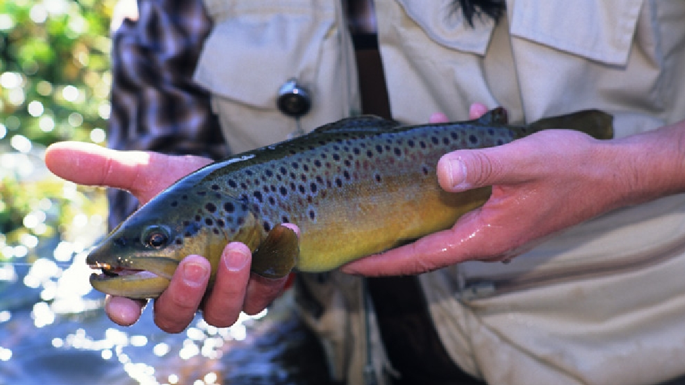 Brown trout (Wisconsin DNR)