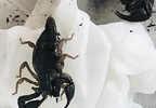 Pacific Northwest Forest scorpions found in container, brought to Keizer Fire District - Photo from Keizer Fire - 3.jpg