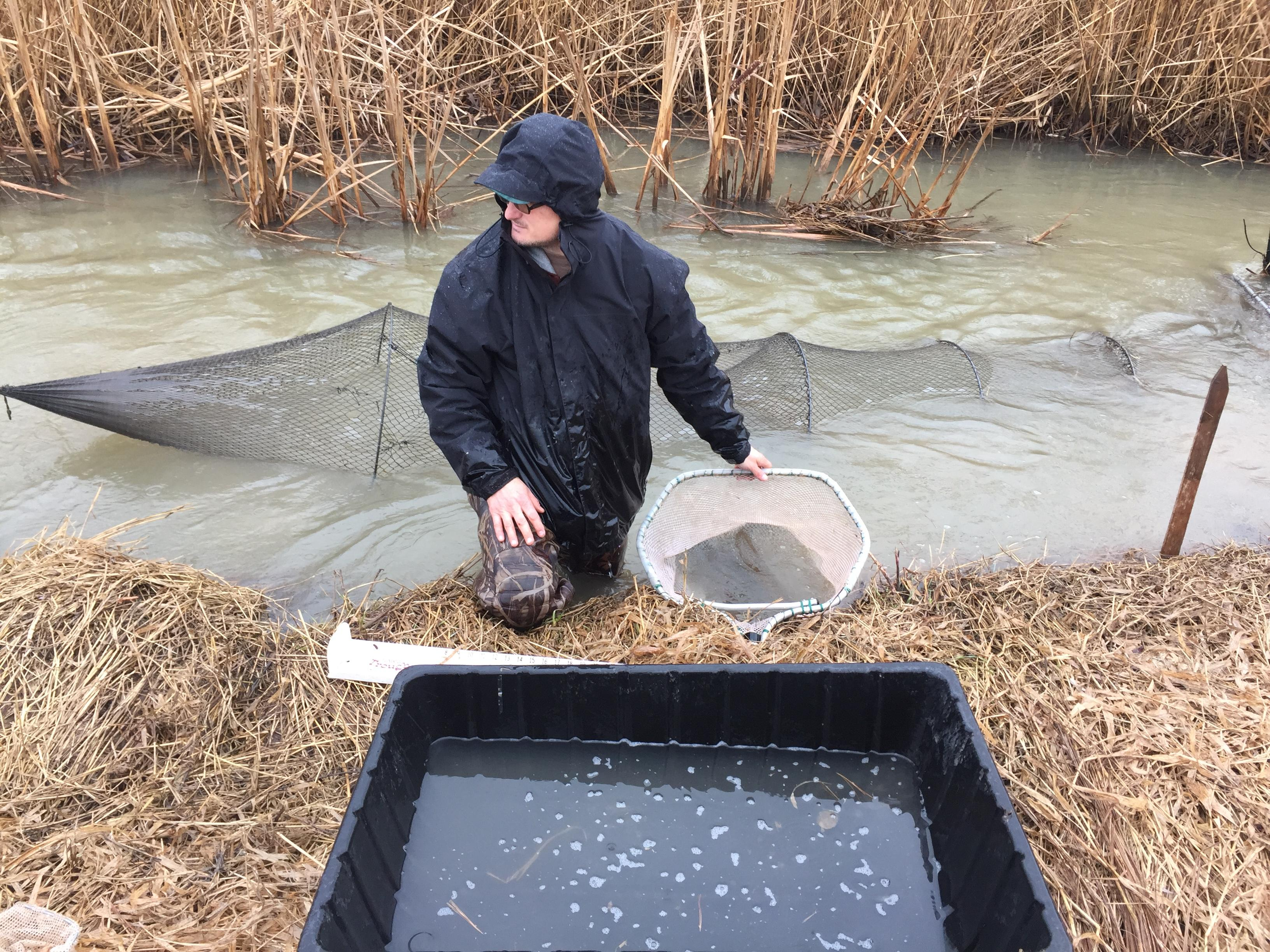 David Wetenkamp checks net used to trap Northern Pike in Willow Creek in Bellevue, April 4, 2017 (WLUK/Eric Peterson)