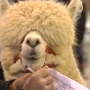 Alpacas From Around The Country On Display In Springfield