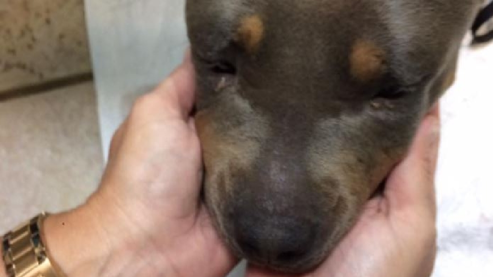 Abandoned Pitbull mix with severe bite wound recovering at ...