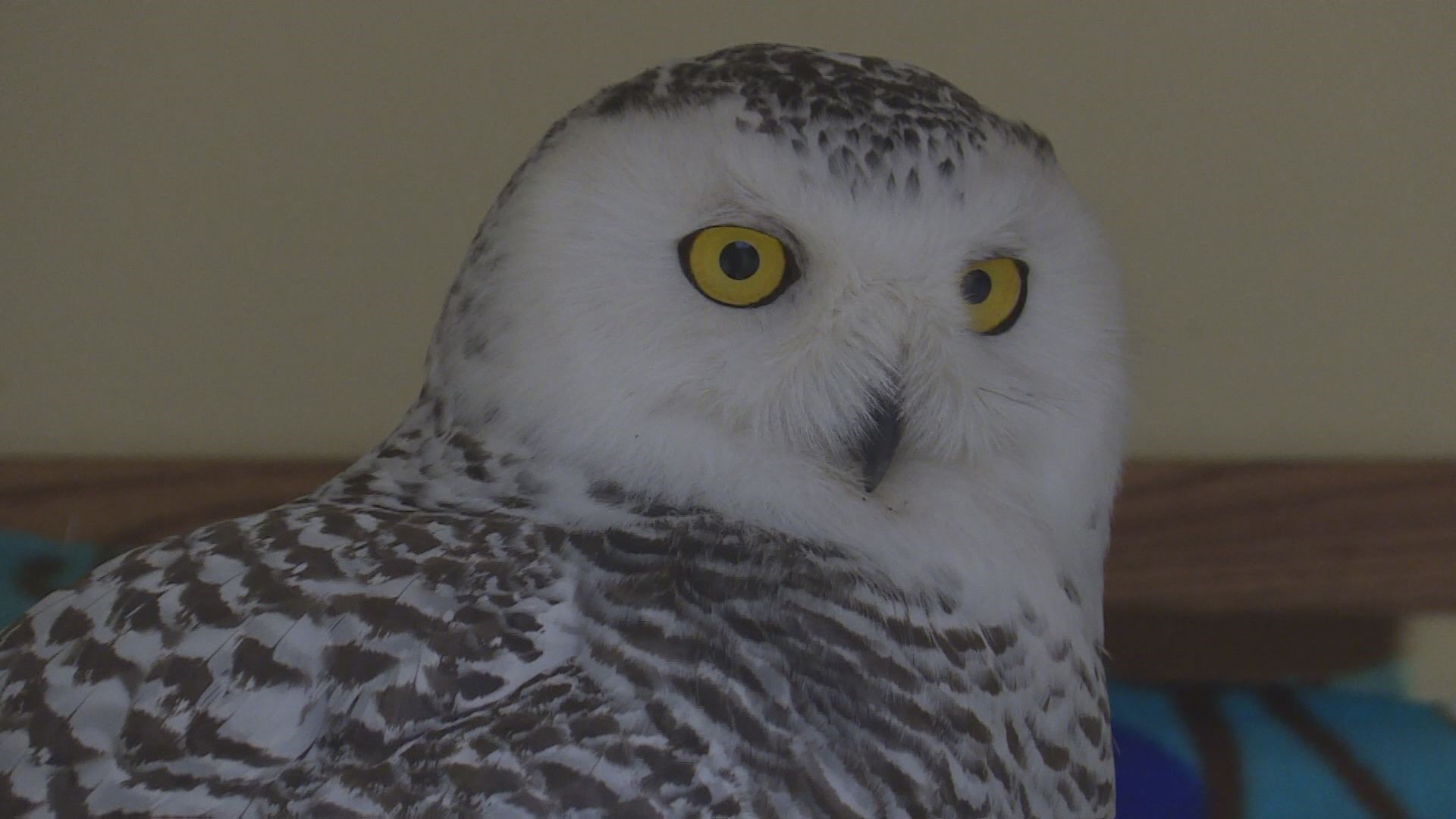 Humane Indiana Wildlife is housing a snowy owl that was rescued after being hit by a semi-truck. // WSBT 22