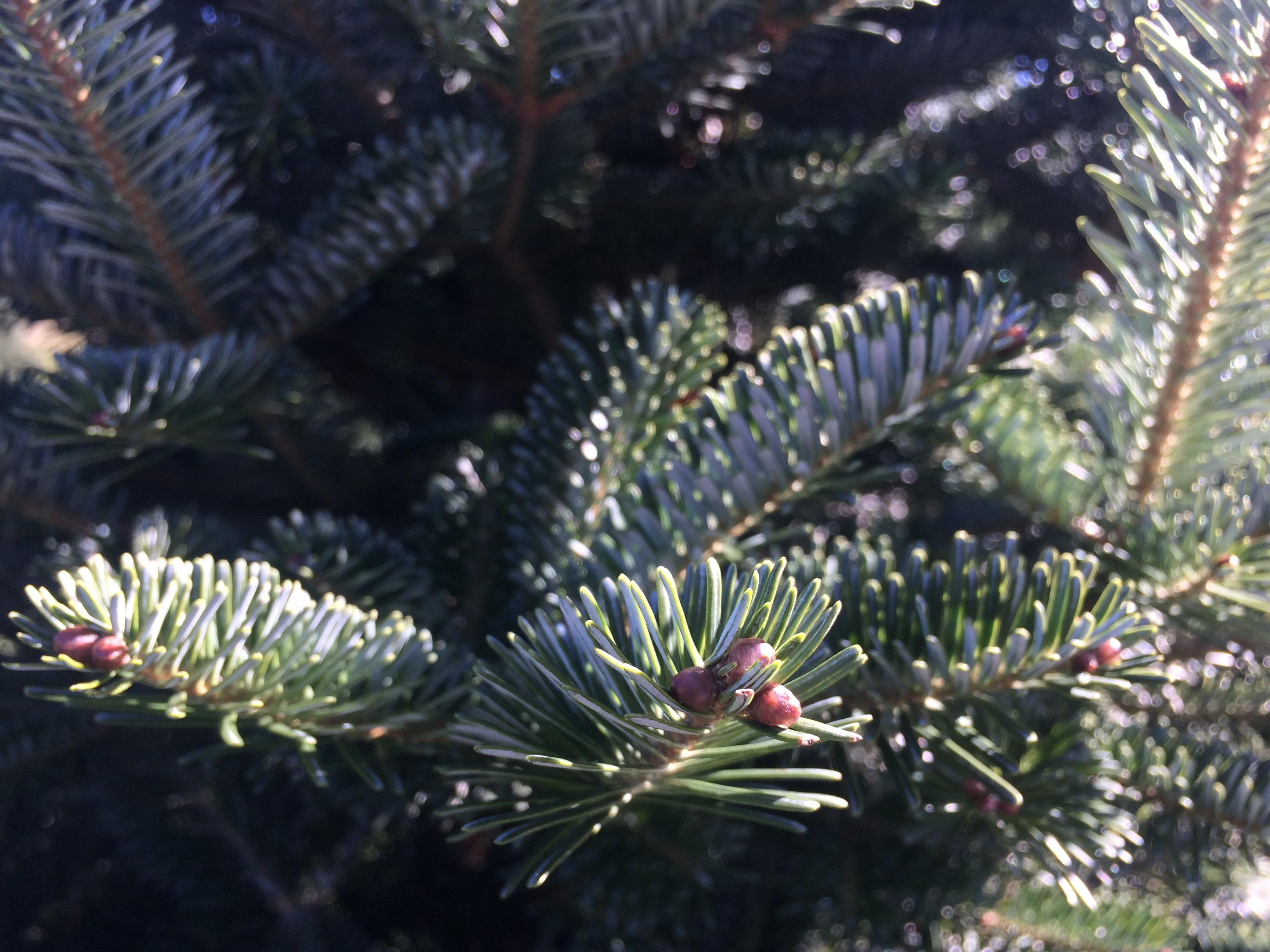According to the North Carolina Christmas Tree Association,{&amp;nbsp;}The North Carolina Fraser fir Christmas tree is the most popular Christmas tree in North America and is shipped into every state in the U.S. as well as the Caribbean Islands, Mexico, Canada, Bermuda, Japan and other points all over the world. (Photo credit: WLOS Staff)<p></p>