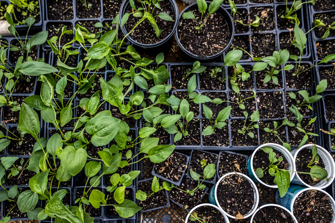 Utilizing the unused properties for agricultural production not only creates a source of fresh and healthy produce, but gardening also serves as a therapeutic practice as well as an outdoor educational tool that promotes community engagement. Brick Gardens has partnered with Neighborhood Grow, a nonprofit community economic development organization, to expand its reach and collaboration with residents. Brick Gardens also partners with local schools and youth programs to provide education about farming. / Image: Catherine Viox // Published: 7.1.20