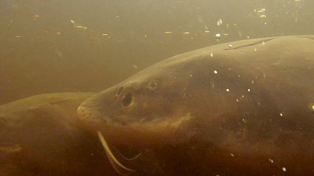 Sturgeon spawning under water in Wolf River at Bamboo Bend in Shiocton, April 17, 2017 (WLUK/Eric Peterson)