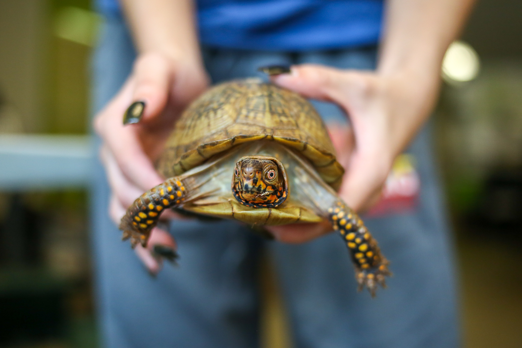Ellie, a three-toed box turtle that now permanently lives at{ } City Wildlife. She is unable to be returned to the wild.{ } (Amanda Andrade-Rhoades/DC Refined)