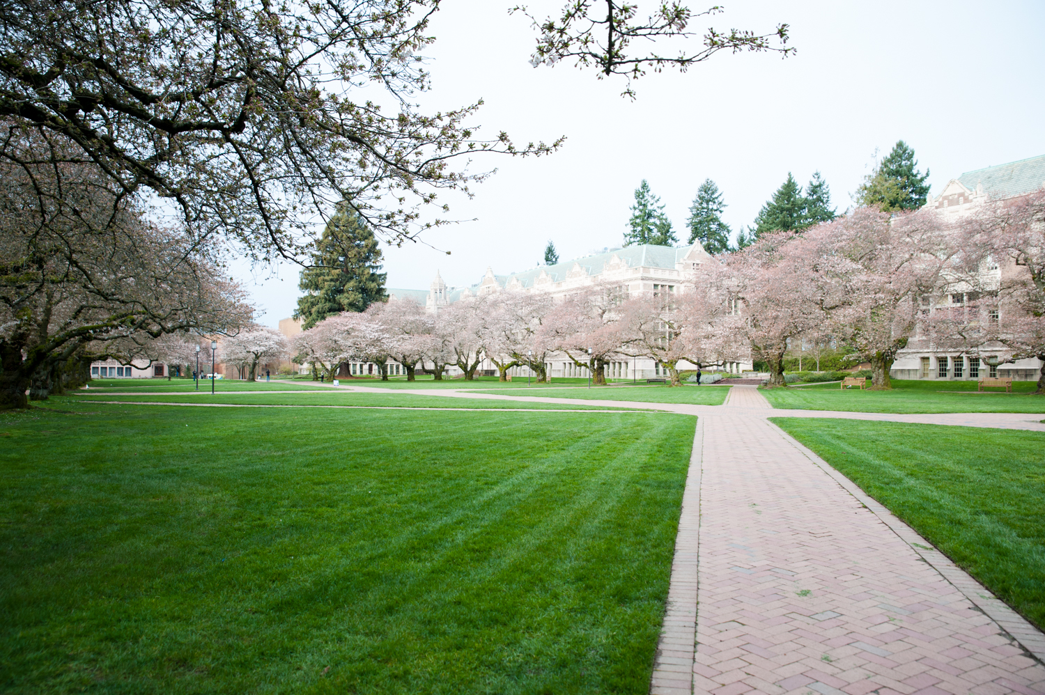 "Every year,{&nbsp;}<a  href=""http://seattlerefined.com/lifestyle/photos-cherry-blossoms-hit-peak-bloom-draw-peak-crowds-this-weekend"" target=""_blank"" title=""http://seattlerefined.com/lifestyle/photos-cherry-blossoms-hit-peak-bloom-draw-peak-crowds-this-weekend"">crowds swarm</a>{&nbsp;}the University of Washington quad for the peak bloom of their iconic cherry blossoms; picnicking, taking photos, and enjoying the beauty. Amidst COVID-19, the scene at this year's peak bloom is much, much different. (Image: Elizabeth Crook / Seattle Refined)"