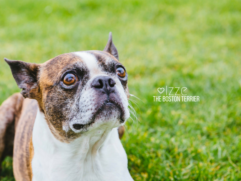 Meet Izze! Izze is a nine-year-old Boston Terrier and has a ton of personality and wears his heart on his sleeve. His parents describe him as a super friendly people pleaser who likes to be goofy and give kisses and affection. He likes cabbage, toys, snuggling, walks, and burrowing. He dislikes baths, cats, and vacuums. The Seattle RUFFined Spotlight is a weekly profile of local pets living and loving life in the PNW. If you or someone you know has a pet you'd like featured, email us at hello@seattlerefined.com or tag #SeattleRUFFined and your furbaby could be the next spotlighted! (Image: Sunita Martini / Seattle Refined).