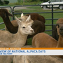 Preview: Alpaca Days at The Fiber Factory in Hamlin
