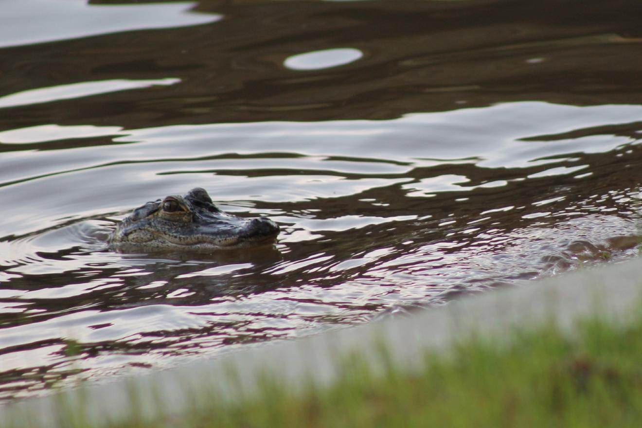 Putnam County Residents Concerned Over Presence Of Gator
