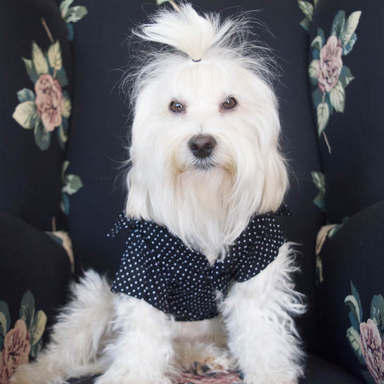 Marlowe is a very handsome and VERY manly Havapoo. He not only confidently rocks bangs, but a man-pony, too. / Image courtesy of Instagram user @manly_marlowe // Published: 11.28.18
