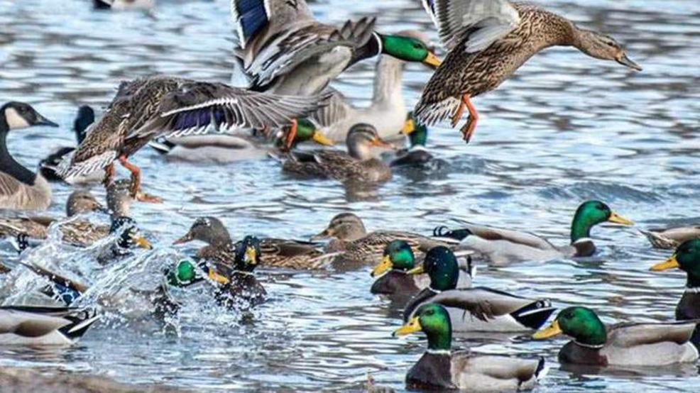 2018 waterfowl numbers are down | WTVC