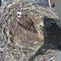 Osprey chicks in nest on Oregon law school named in honor of two legal eagles