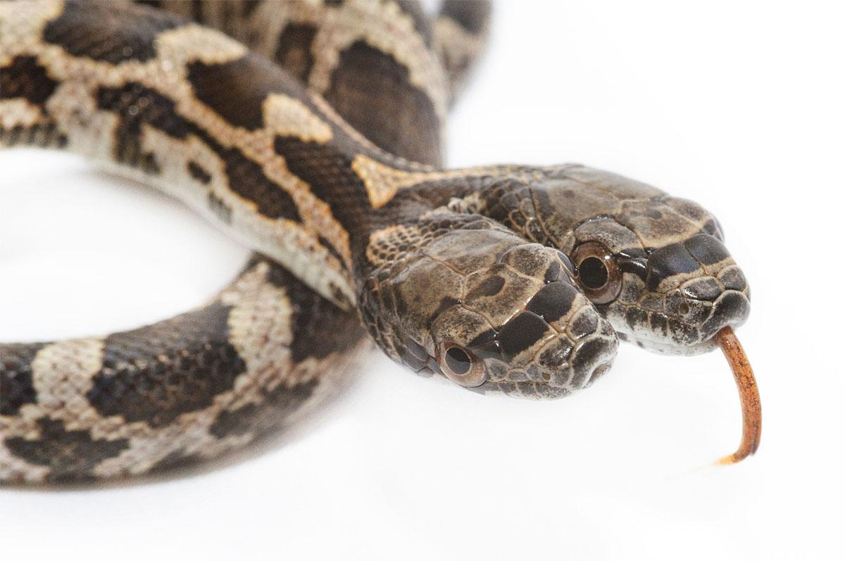 Rare condition creates 2-headed snake in Kansas | KOMO