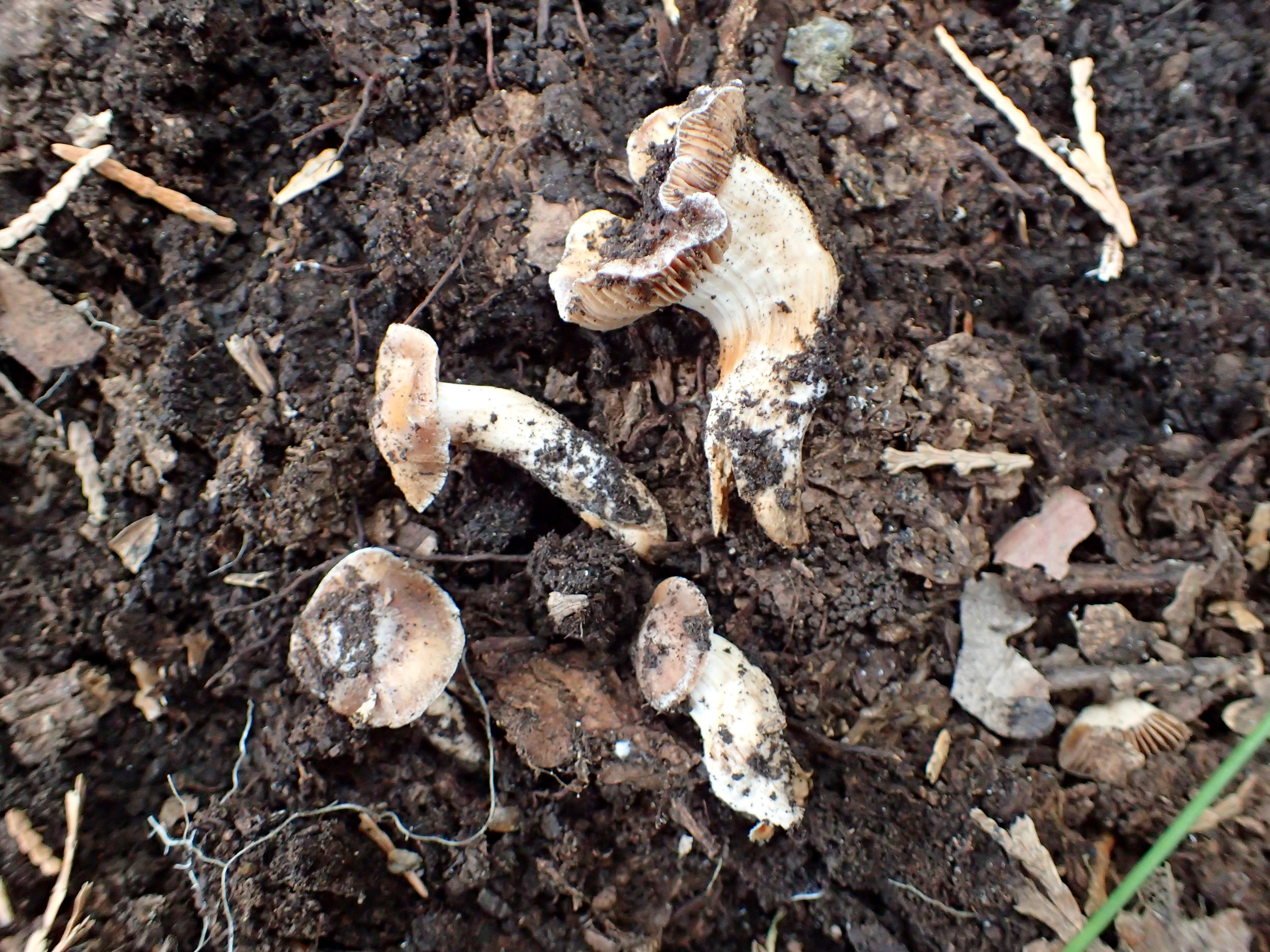 <p>Biologist Scot Loring says the newly discovered mushrooms are about 8 centimeters tall and have convex caps with a mix of brownish tones, white margins, a white veil, tan gills, and a whitish stem that tapers to the base. Photo courtesy Scot Loring<br></p>