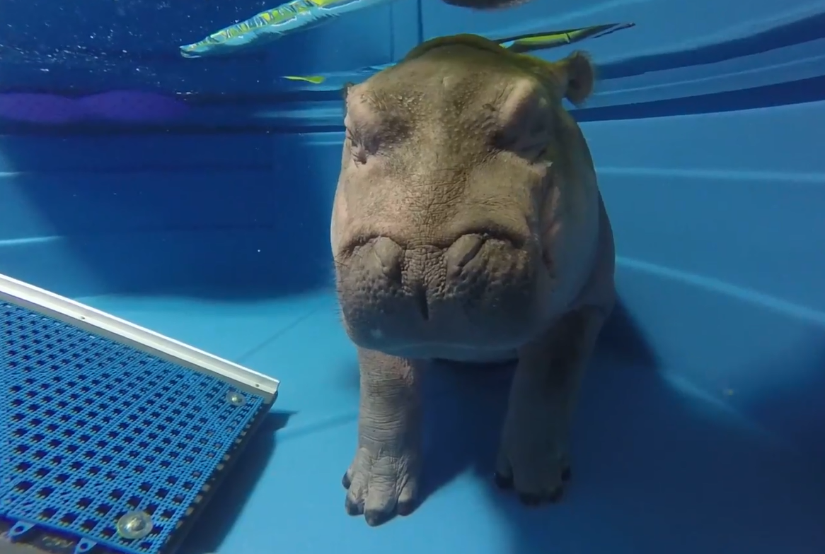 Fiona the hippo makes a splash after topping 200 pounds | WXLV