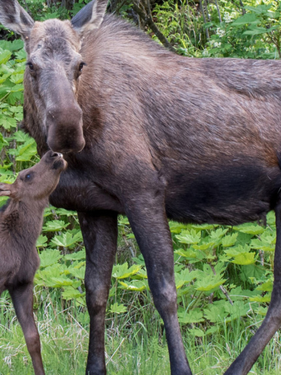 Someone poached a moose in central Idaho and left it to waste | KBOI