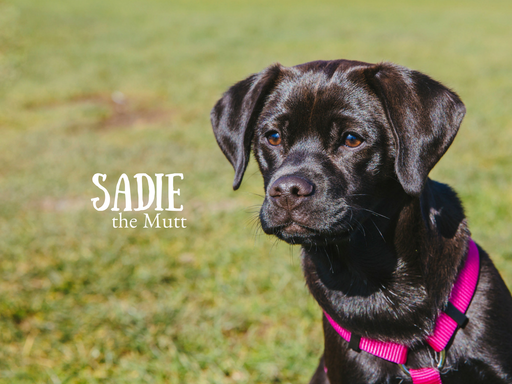 This sweet girl is Sadie! Sadie is a rescue so her exact breed in unknown, although her parents believe that she is a Labrador and Pug mix AKA a Pugador. Sadie is seven month old social pup who loves anyone that will stop by and say hi. She is a fearless female who likes playing with dogs, chasing balls, and braving the the local waters. She dislikes aggression and grumpiness from other dogs. That is very understandable, Sadie girl. The Seattle RUFFined Spotlight is a weekly profile of local pets living and loving life in the PNW. If you or someone you know has a pet you'd like featured, email us at hello@seattlerefined.com or tag #SeattleRUFFined and your furbaby could be the next spotlighted! (Image: Sunita Martini / Seattle Refined).