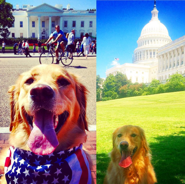 Sienna (aka Mamas) is a rescued golden from @wash_humane who enjoys romping around the nation's capital & being Bo Obama's girlfriend #thedistrictdog #adoptdontshop (IMAGE: IG user @the_district_dog)