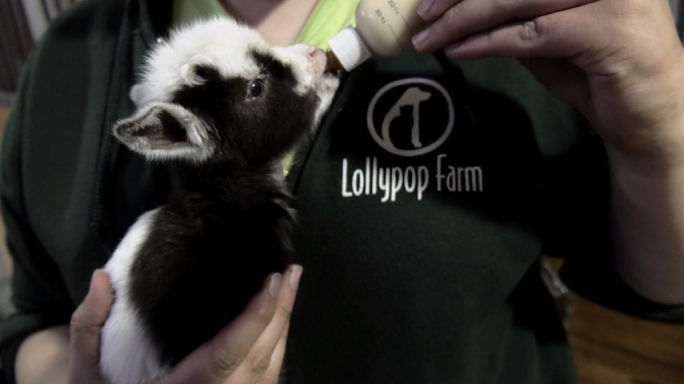 Pygmy Goats Give Birth To 8 Kids At Lollypop Farm Wham
