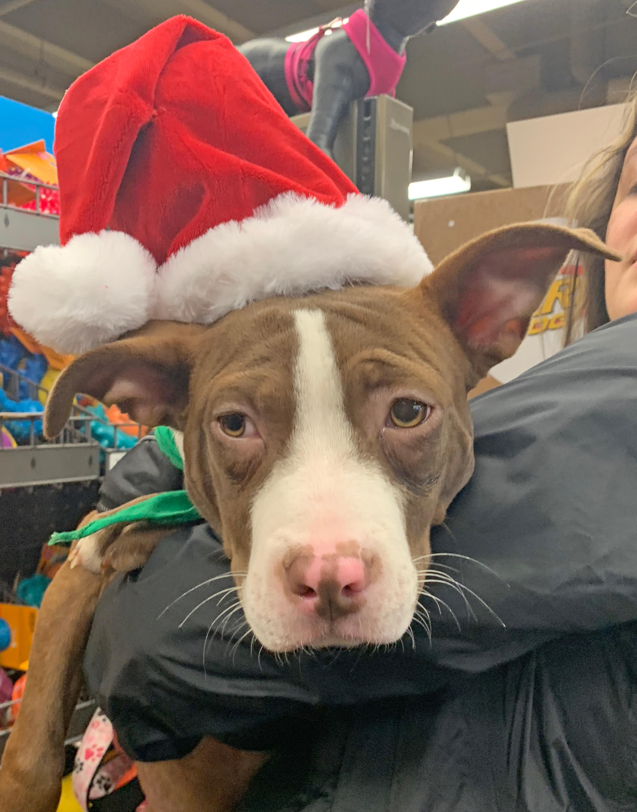 Ula is a 5-month-old, 14-pound Terrier mix. She's looking for a home for the holidays and would love a family that will take her to the dog park and maybe even some obedience classes. You can get more info about Ula here: https://bit.ly/2Er1HTZ (Image: Courtesy Lucky Dog Animal Rescue)