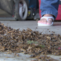 Crickets invade Mendota homes