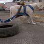 Dogs seen dragging tires on walks, owner says it is exercise