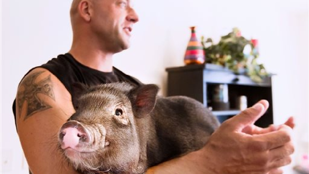 In this photo taken on Tuesday, Aug. 12, 2014, Shane Wilson, of Eau Claire, Wis., holds his miniature pot-bellied pig Dozer. Dozer who was given to Wilson and his wife as a wedding present and is a registered service animal for Wilson, who served in the marines. (AP Photo/The Eau Claire Leader-Telegram, Marisa Wojcik)